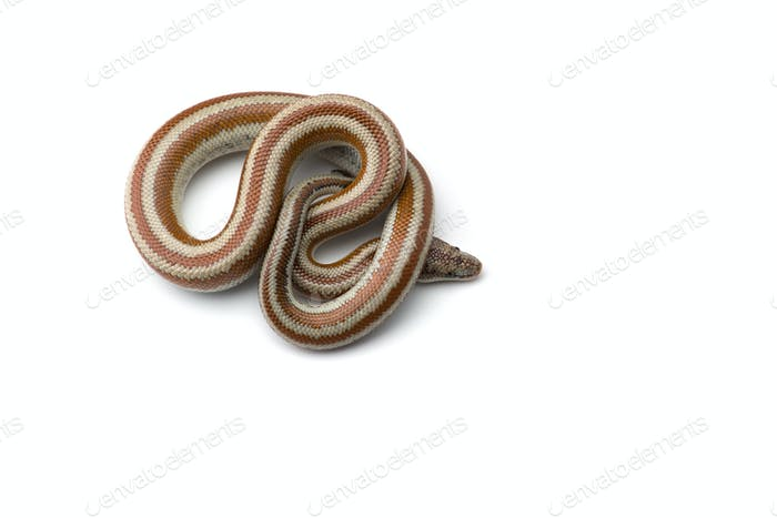 The rosy boa isolated on white background