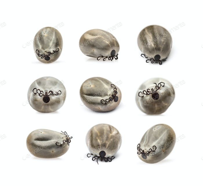 Collection of Filled female ticks, isolated on white
