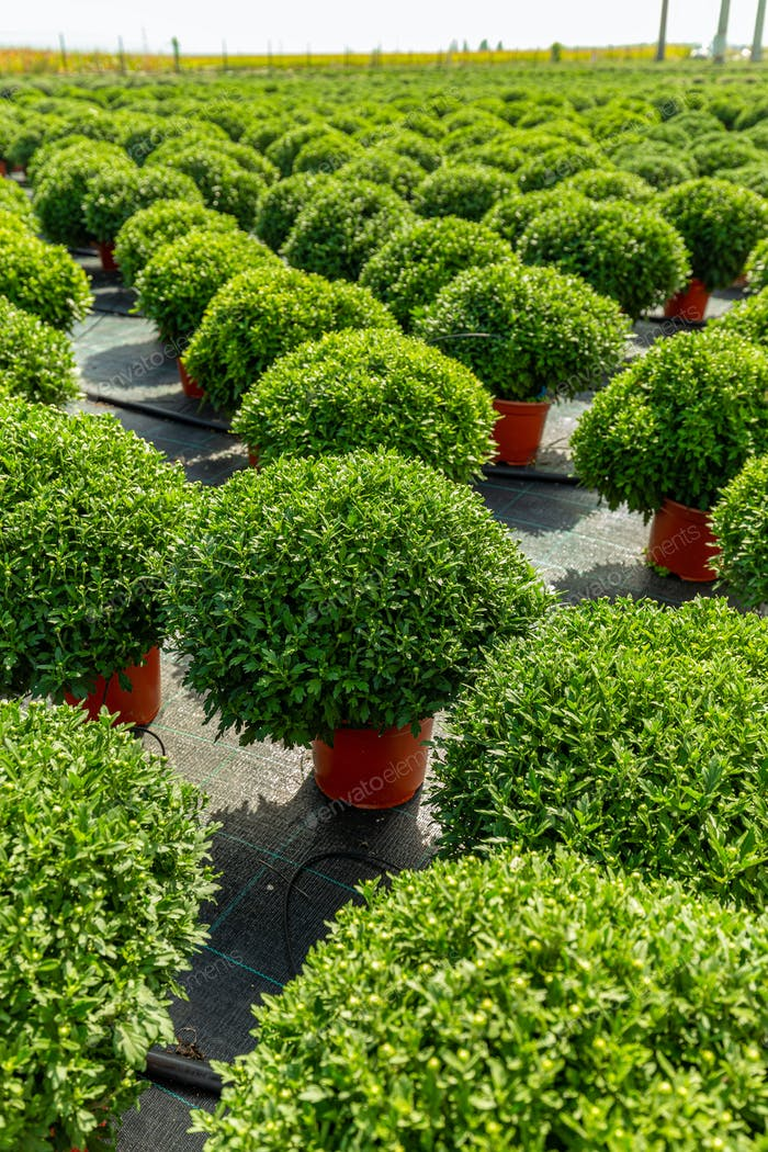 Young chrysanthemum grow in a horticultural plantation