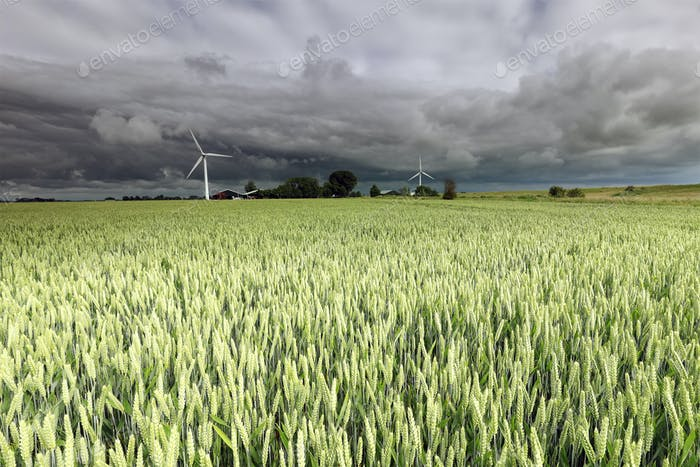 wheat field and wind turbines
