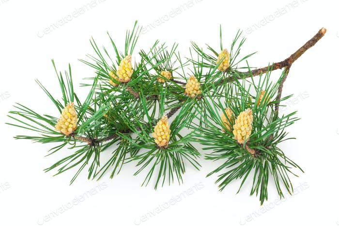 A flowering pine branch