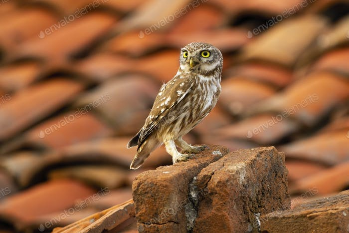 Attentive little owl sitting on a brick in farmland with red roof in background