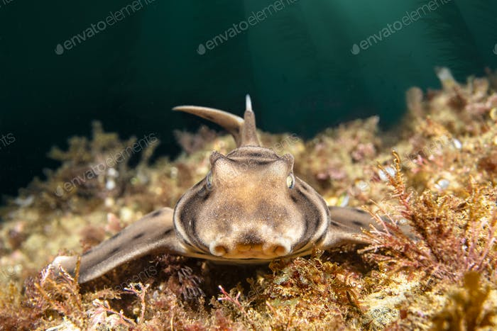 Horn Shark on California Reef