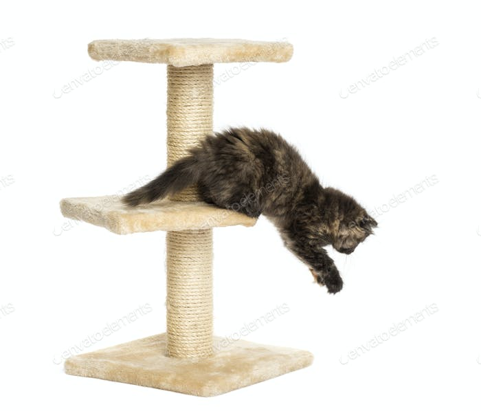 Highland fold kitten jumping from a cat tree, isolated on white