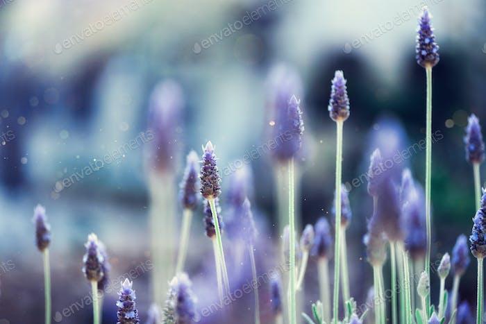 Lavender plant field. Lavandula angustifolia flower. Blooming violet wild flowers background with