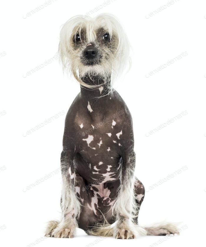 Chinese dog sitting, isolated on white