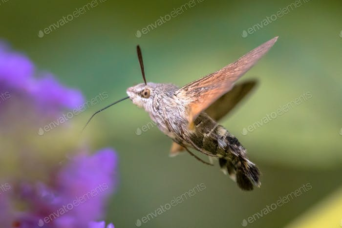 Hummingbird hawk moth butterfly