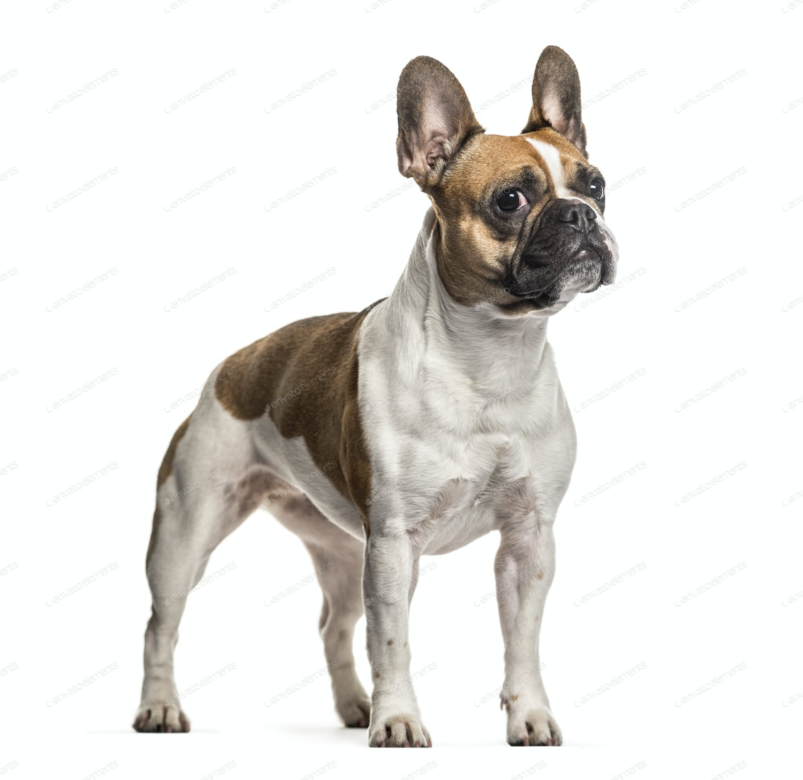 French Bulldog , 3 years old, standing ...