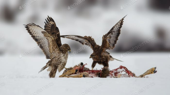 Common Buzzards (Buteo Buteo) Fighting Over Roe Deer (Capreolus Capreolus) Carcass