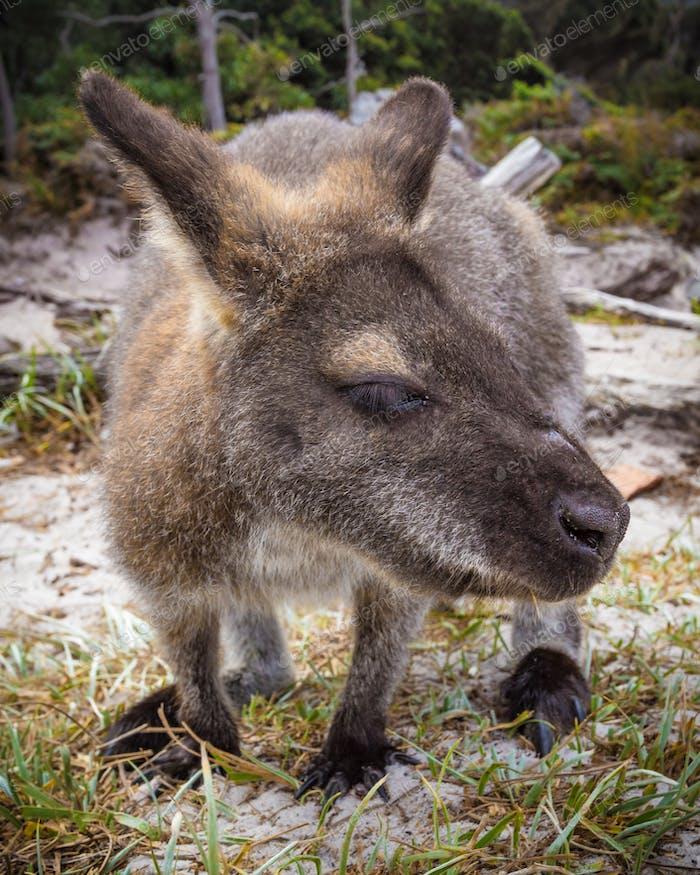 Bennett Wallaby