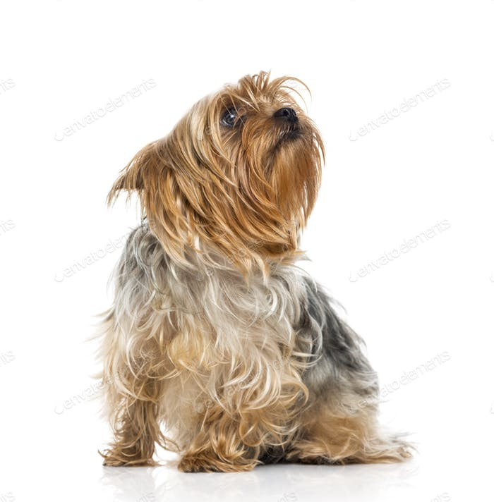 Yorkshire Terrier (2 years old)