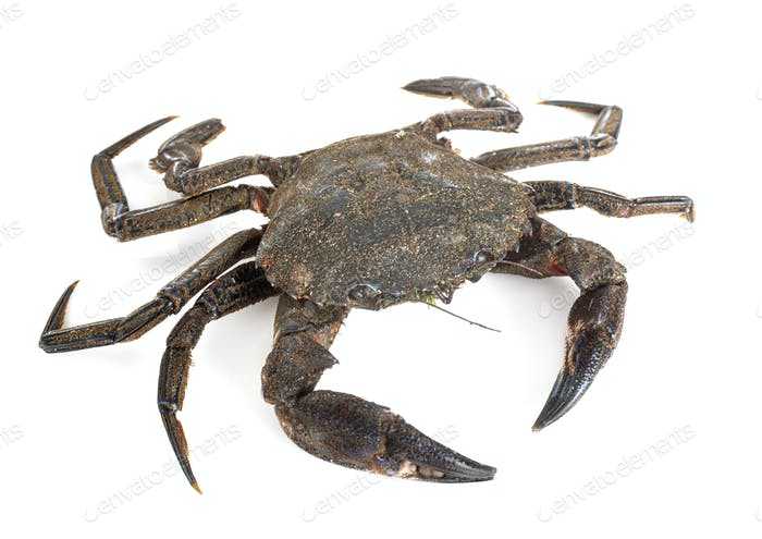 Velvet crab in studio