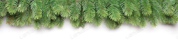 Green branches of a fir tree