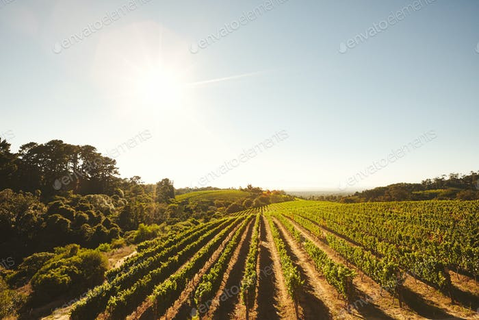 Grape cultivation for winery