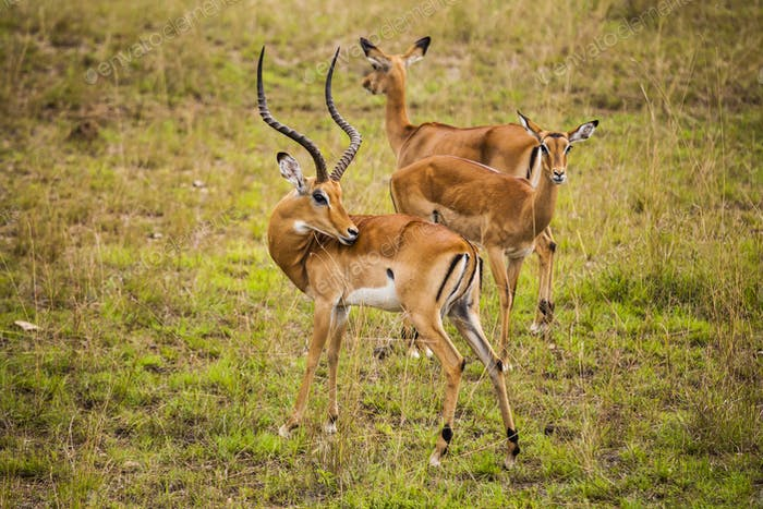 Thomson's gazelle in the Nairobi National Park.
