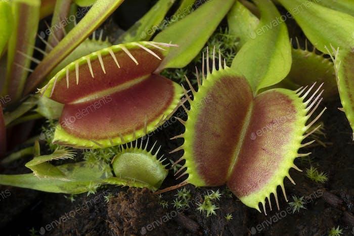 Venus flytrap, Dionaea muscipula, subtropical carnivorous plant