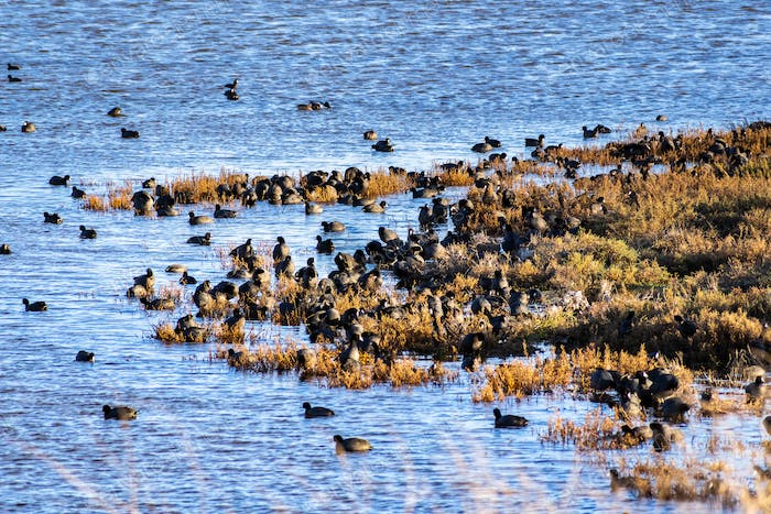 A group of American Coots on the shores of south San Francisco bay area, California