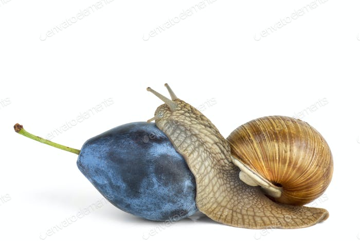 Snail eat plum berry