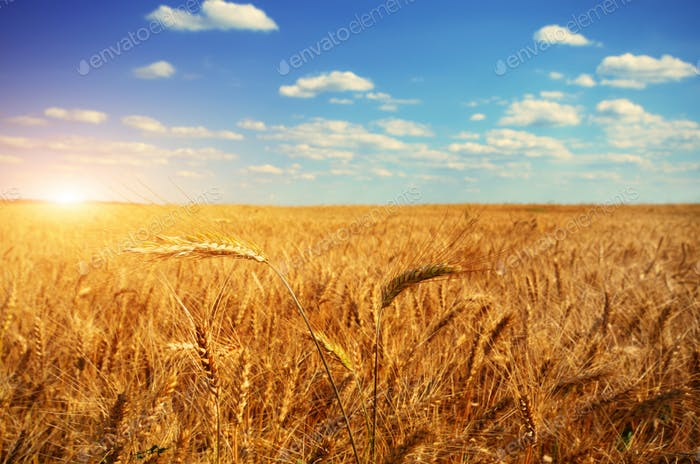 Wheat field against sun light