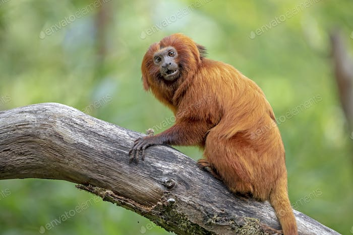 Golden lion tamarin monkey climbing on tree