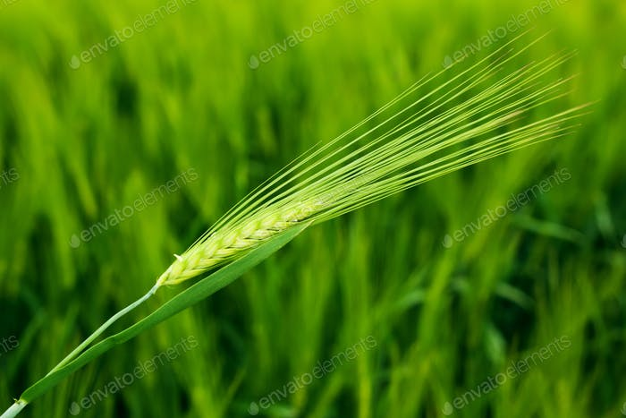 Wheat field closeup