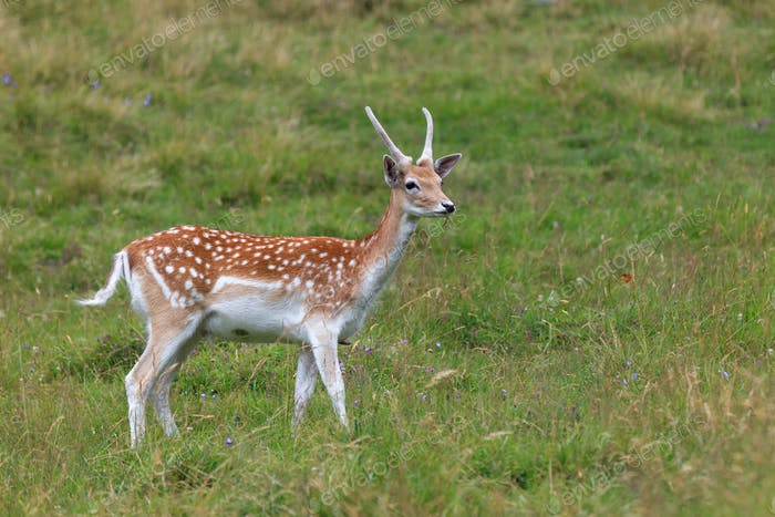 fallow deer (Dama dama) in grass. Parc de Merlet, France