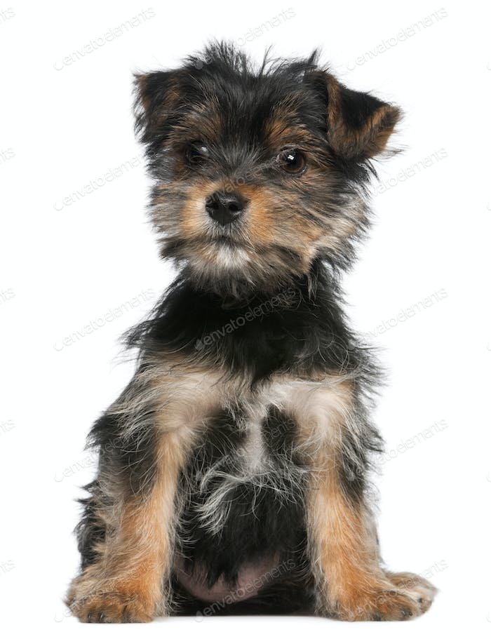 Yorkshire Terrier puppy, 3 months old, sitting in front of white background