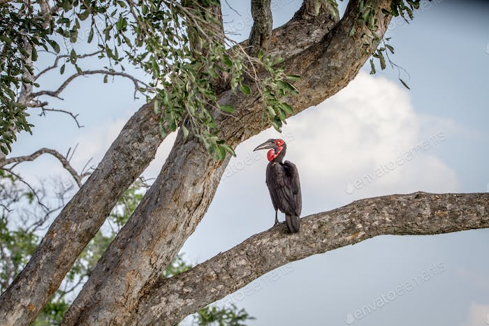 Southern ground hornbill sitting in a tree.
