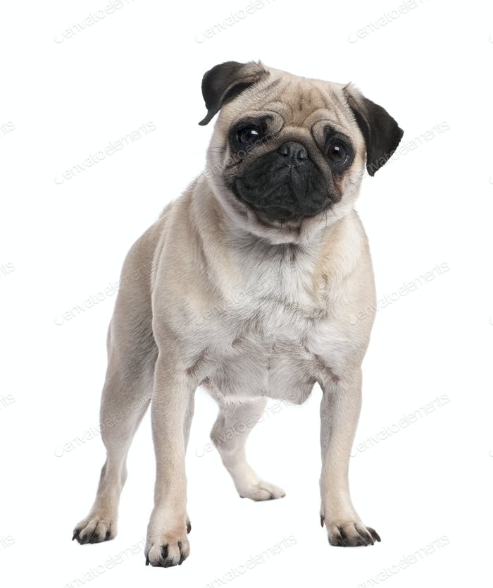 Beige pug standing up in front of the camera (2 years ols)