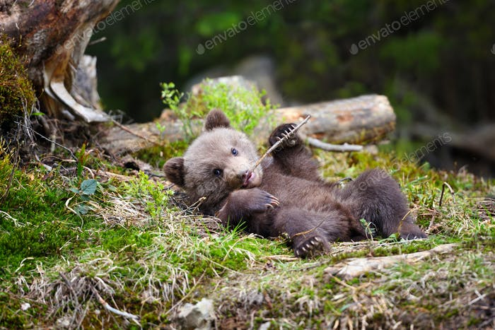 Funny little brown bear cub is played with a stick