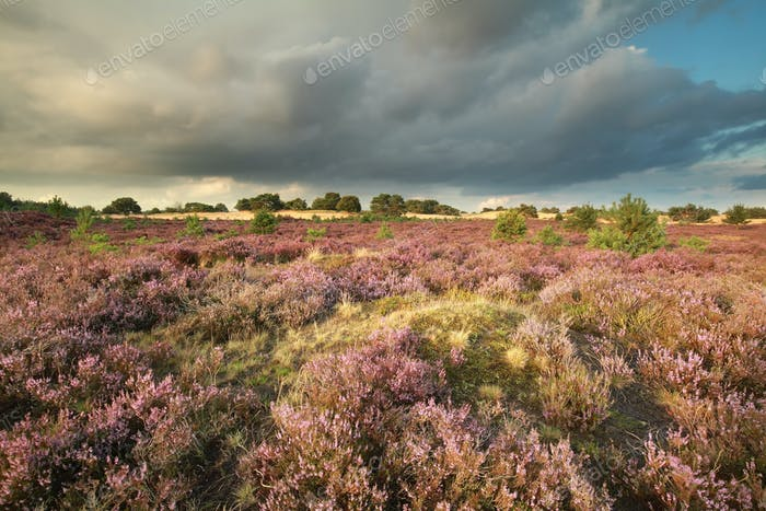 rainy sky over flowering heather