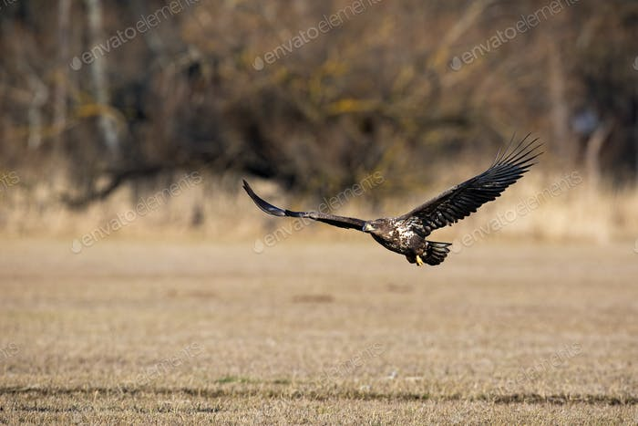 Juvenile white-tailed eagle flying low above ground