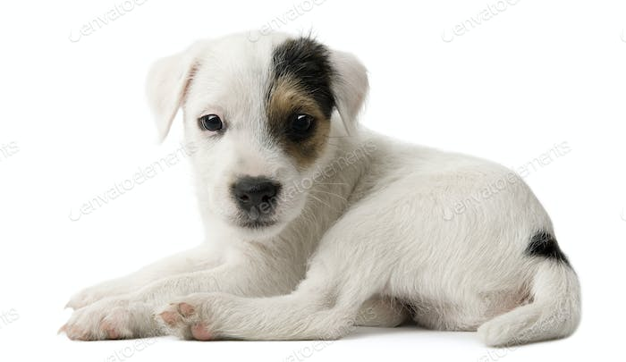 Parson Russell Terrier puppy lying in front of white background