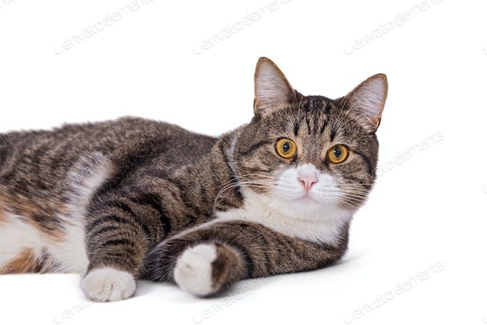Big gray cat lazily lying