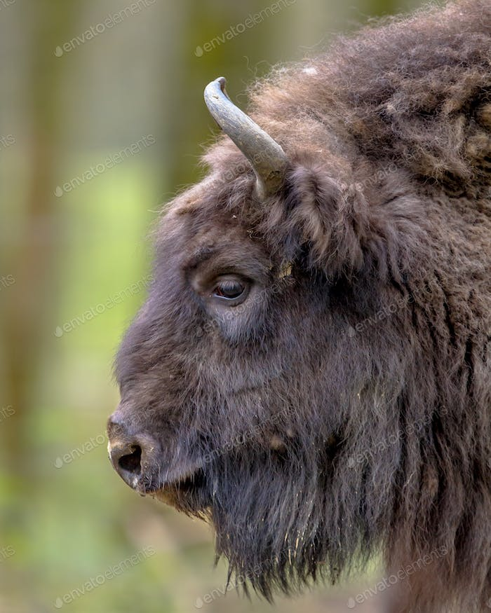 Sideview portrait of Wisent bull