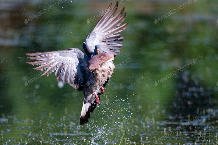 Wood Pigeon or Columba palumbus