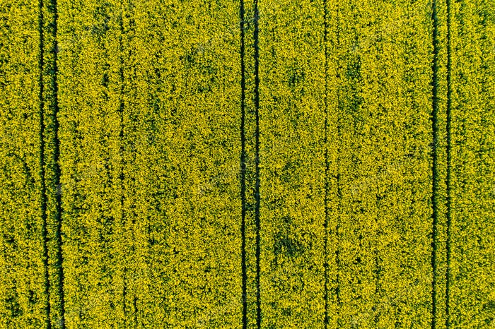 top view of a yellow rapeseed field in Belarus, an Agricultural area. aerial photography. Spring