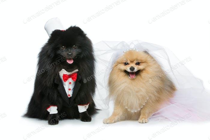 dog wedding couple isolated on white