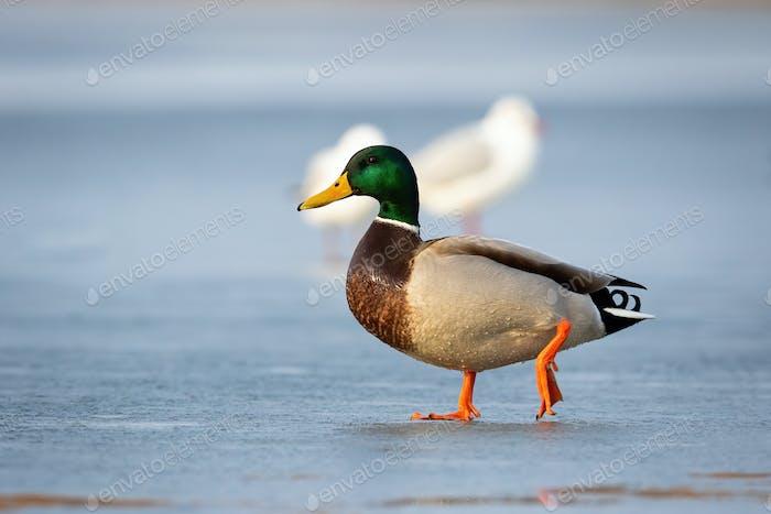 Male mallard duck walking on ice on frozen river in winter at sunrise