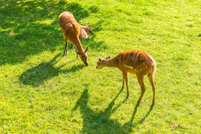 European roe deer capreolus eating grass