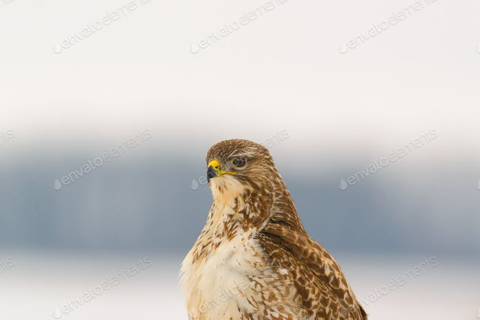 Portrait of common buzzard buteo buteo