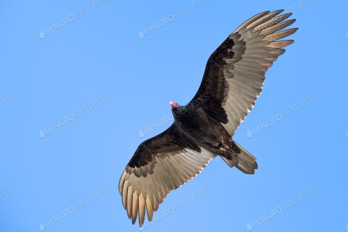 Fliegender Truthahngei