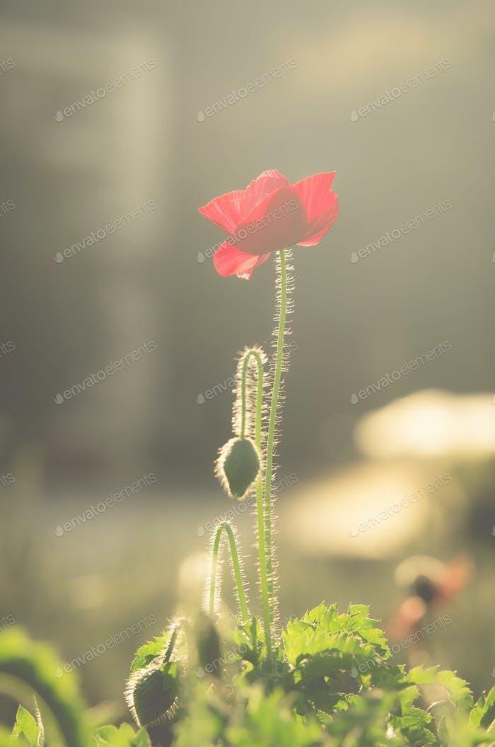 Poppy Flower, soft focus with vintage color tone style