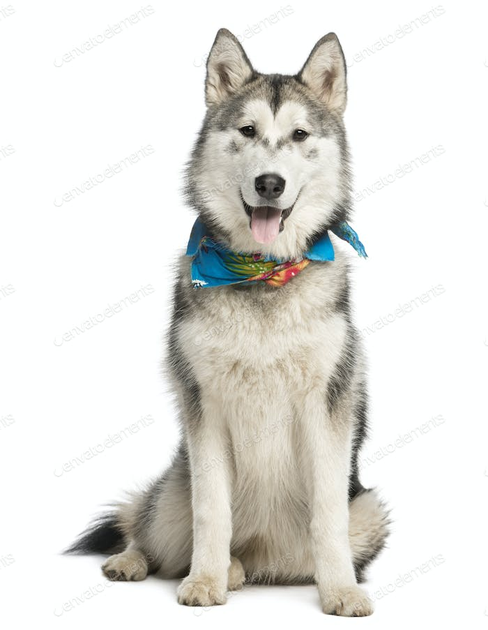 Alaskan Malamut wearing a blue scarf, sitting and panting, isolated on white