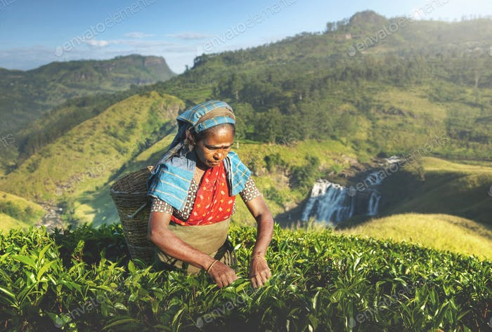 Indigenious Sri Lankan Tea Picker Agricultural Farm Concept