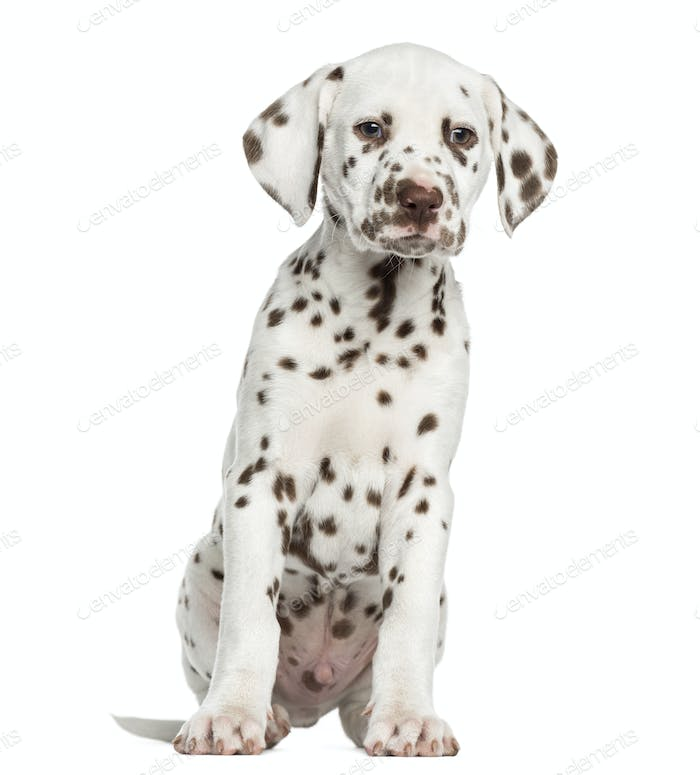 Front view of Dalmatian puppy sitting, isolated on white