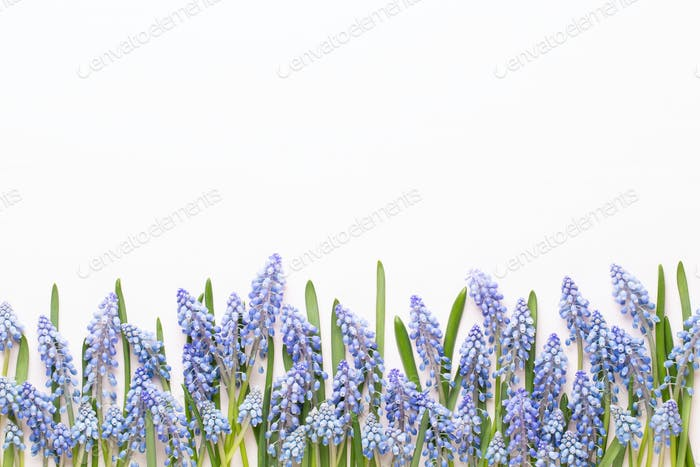 Spring blue muscari flowers. Muscari flowers on pink pastel background. Spring greeting card.