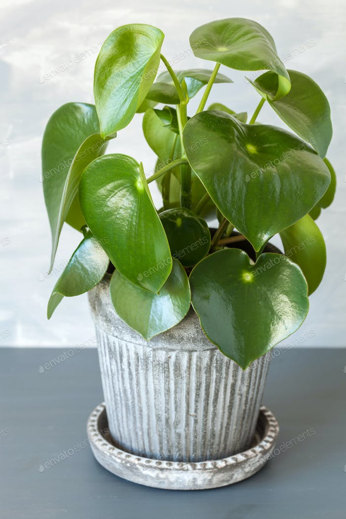 houseplant peperomia in vintage pot
