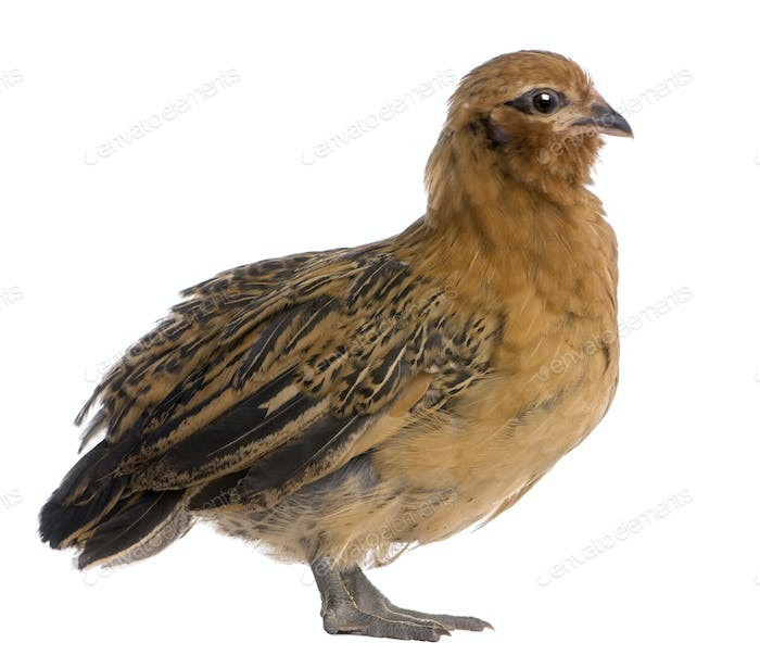 Chick, 36 days old, standing in front of white background