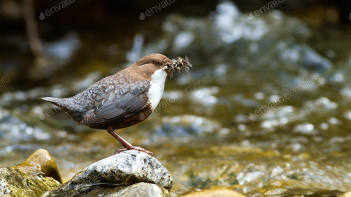 White-throated dipper holding insect in beak on rock